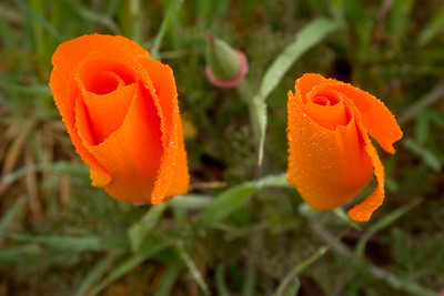 California Poppies in the Rain