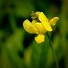 Floating bladderwort