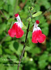 Hot Lips Salvia - Microphylla