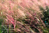 Muhly Grass.<br /> The Villages, Florida.