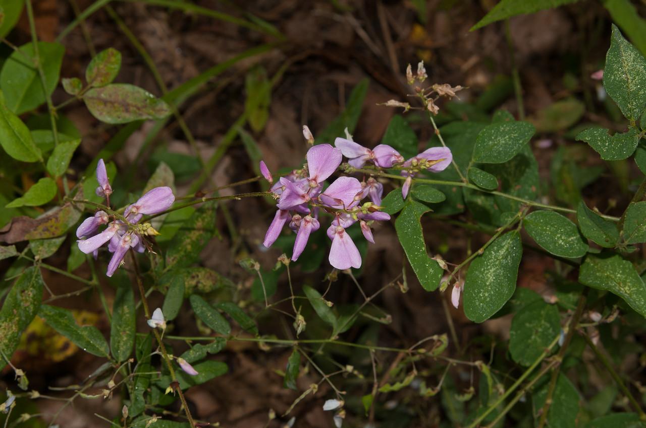 Roadside wildflower - Norfork River Arkansas (7)