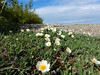 ArcticWildflowers2