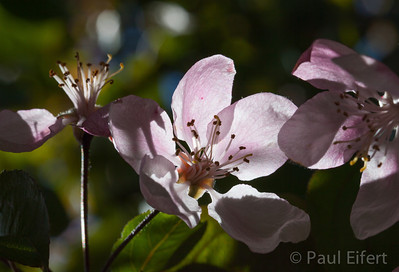 Spring blossom in the morning sunlight.