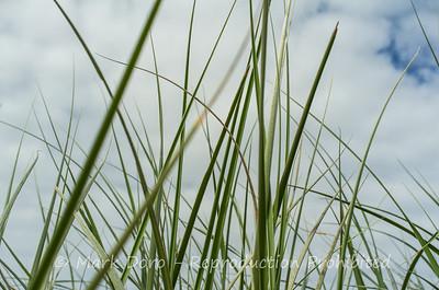 Sandune grasses, Arrawarra Headland, NSW