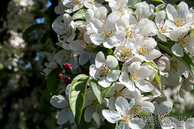Apple blossoms on the Eastern Prom