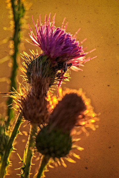 Morning Thistle