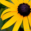 Black Eyed Susan<br /> <br /> This photograph is a limited edition digital print.<br /> The edition size is 50.