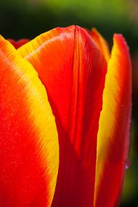 Tulip tear