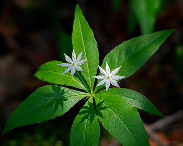 Starflower and Shadows