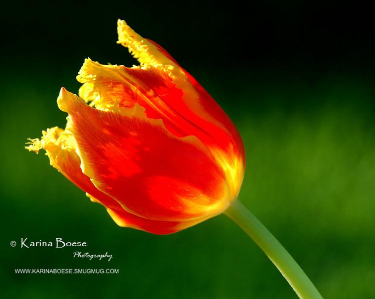 Hybrid Tulip