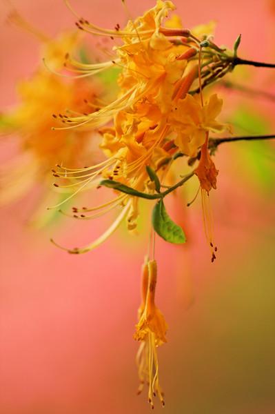 Wild Azalea (Rhododendron austrinum) - Alfred B. Maclay Gardens State Park, Florida