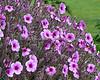 Unknown flowering bush at the Queen Wilhelmina Tulip Garden near the Dutch Windmill in Golden Gate Park.