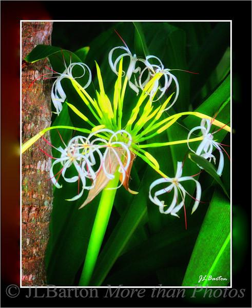 Giant Cirnum Lily Seen around Boca Grande, Gasparilla Island