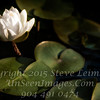 Water Lilly - Copyright 2017 Steve Leimberg UnSeenImages Com _DSF6341