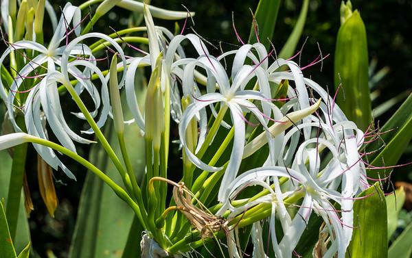 Florida Swamp Lily