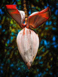 Bananna Tree Copyright 2021 Steve Leimberg UnSeenImages Com _DSC9881