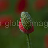Close up shot of  red wild poppy bud, Pavaver rhoeas
