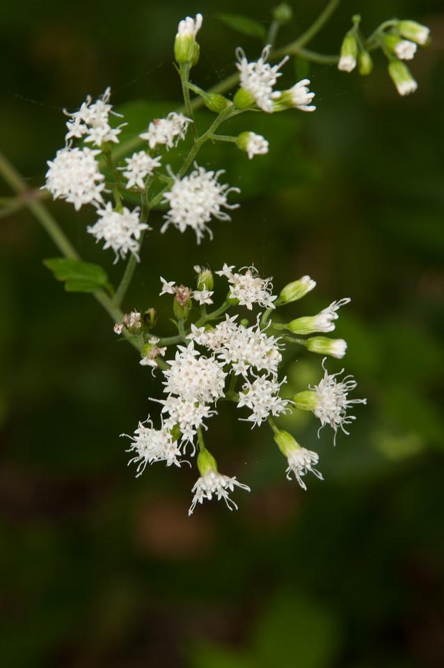 Roadside wildflower - Norfork River Arkansas (8)