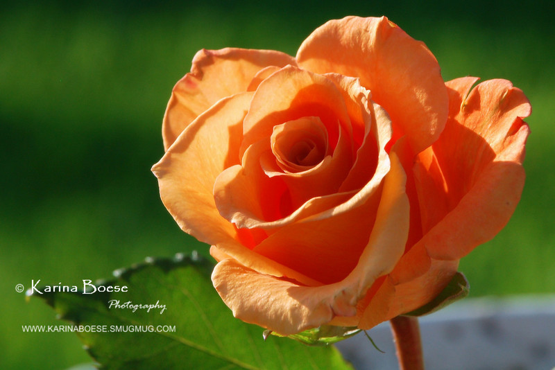 Peach Rose from Joyce<br /> April 29, 2008