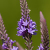 Blue Vervain - Oak Openings - July 2008