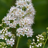 Meadowsweet - July 14, 2012