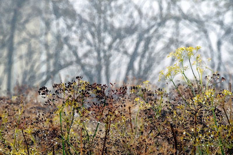 Dill through the fog abstract