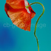 Red wild poppy in June, pavaver rhoeas