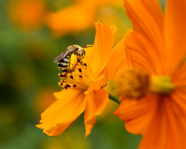 Sleeping bee on cosmos