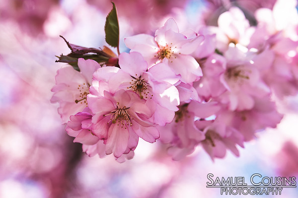 Cherry trees blossoming near Portland's Eastern Cemetery
