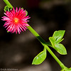 Red Daisy on Green Stalk