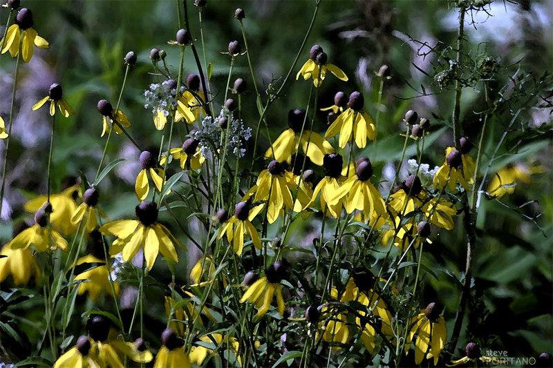 Iowa Cone Flowers