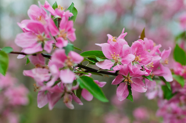 Pink flowers of a Crabapple tree in bloom