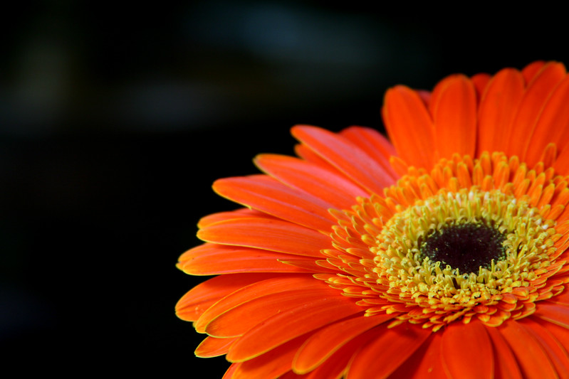 Glowing red face of a Gerbera daisy.