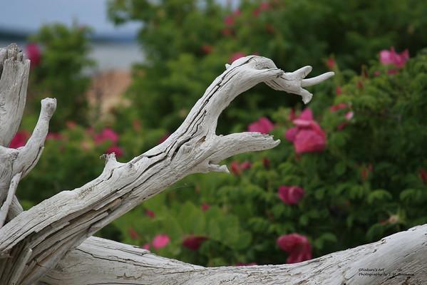 Driftwood Still Life with Rosa Rugosa