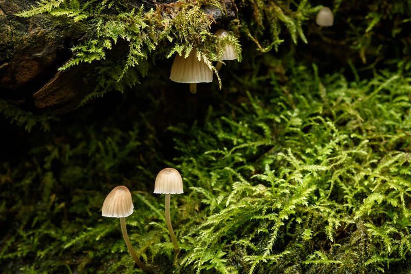 tiny Mycena Mushrooms