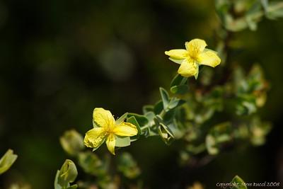 Hypericum (Hypericum myrtiflorium).