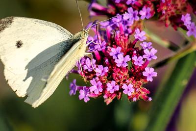 Common Whiteling