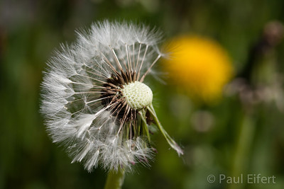 Dandelion, half blown away.