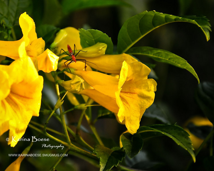 orange insect tecoma yellow flowers (1 of 1)
