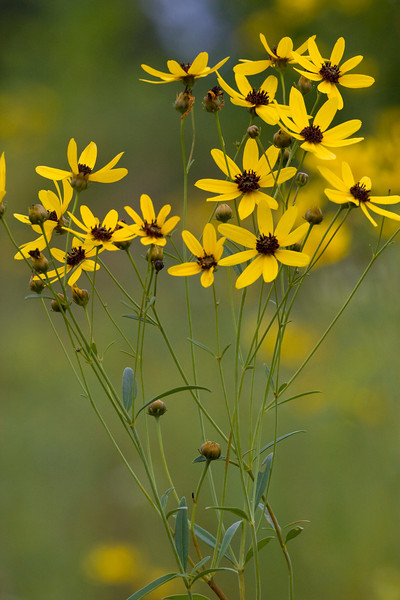 Tall Coreopsis - August 2009