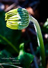 bud flower gerbera daisy_
