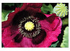 Oriental Poppy with Seed Pod - Maroon - 'Watercolor' filter