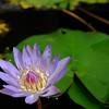 10-Lotus