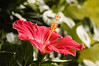 Pollin Dust on the Hibiscus-2