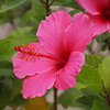 Hibiscus - 4 July 2012