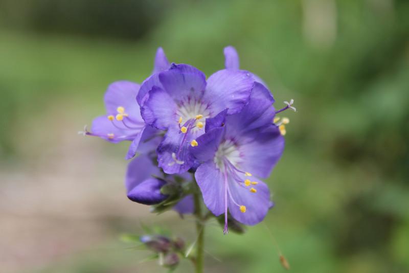 Purple moi