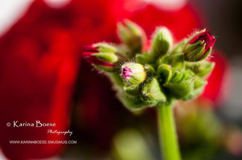 red geranium bud-8194
