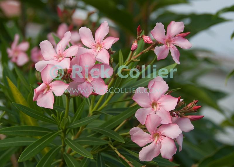 Saba - Flower.  © Rick Collier