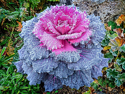 Frosted Ornamental Kale