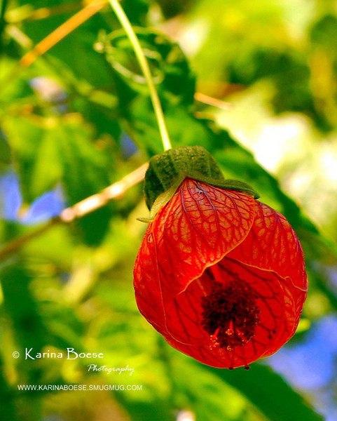 Souvenir de Bonn - Chinese Lantern<br /> Gardening in Houston Show